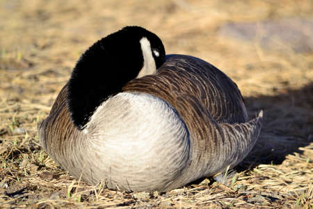 Goose Resting In The Sun Stock Photo