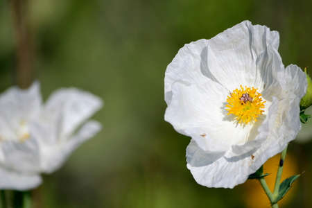 crested poppy, white flower, Argemone polyanthemos