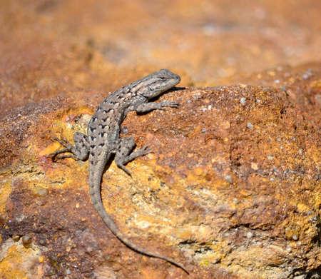 lizard sunning on rock, Scleroporus undulatus Imagens
