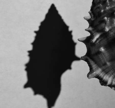 seashell with silhouette in black and white, close-up