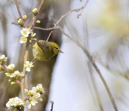 Orange-crowned Warbler, Vermivora celata