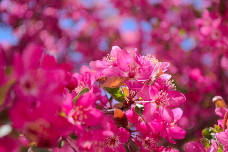 spring blossoms in pink with blue sky