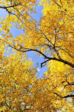 Autumn leaves, cottonwood tree, blue sky