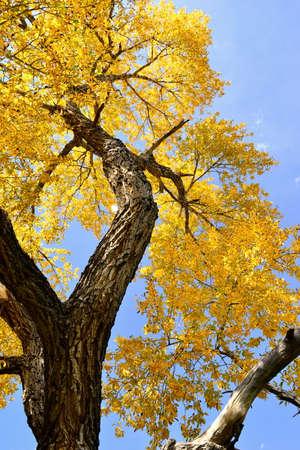 Fall leaves, cottonwood tree, blue sky