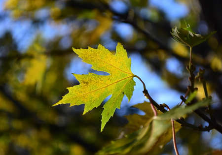 Fall colors, maple leaf