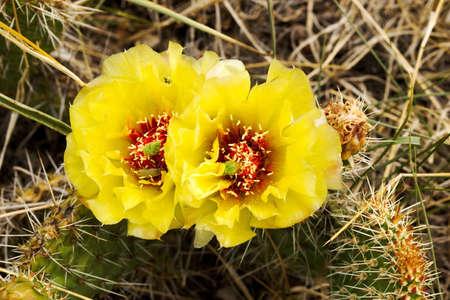 cactus flowers, two in full bloom