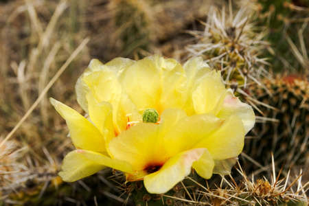 cactus flower, opuntia 版權商用圖片 - 103788437