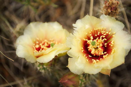 cactus flowers, two 版權商用圖片