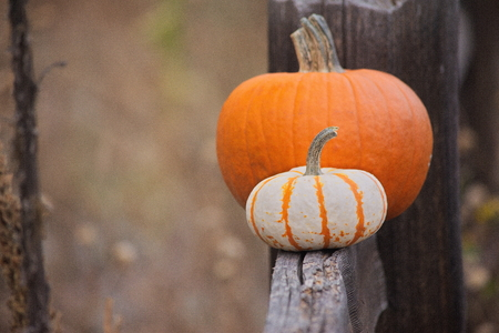 pumpkins, two, in a field, on a fence