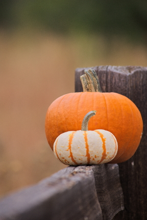 close up of two pumpkins on a fence outdoors