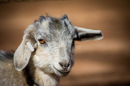 Adorable baby goat with floppy ears. Farm, spring, state fair and educational concepts. Imagens