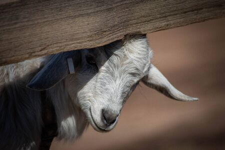 Adorable baby goat peeking out from under a split rail fence. Farm, spring, state fair and educational concepts.