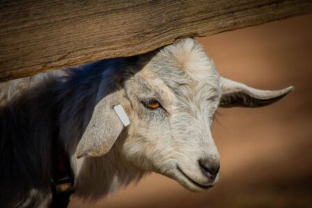 Adorable baby goat under a split rail fence. Farm, spring, state fair and educational concepts. Imagens