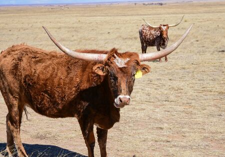 Two Texas longhorn cattle out in the field, looking into the camera. Agriculture,farming,ranching,science concepts.