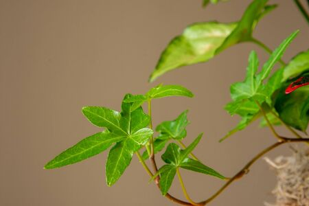 Close up of asterisk ivy with foliage in background on beige backdrop. Summer, spring, garden concepts.
