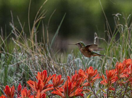 Hummimgbird hovering above indian paintbrush flowers. Fine art, nature concepts.