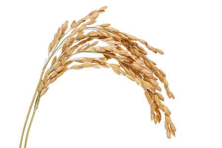 Rice stalks. Isolated on a white background