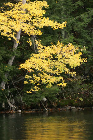 Golden aspen leaves against a dark green balsam background with reflections of gold on the water. photo