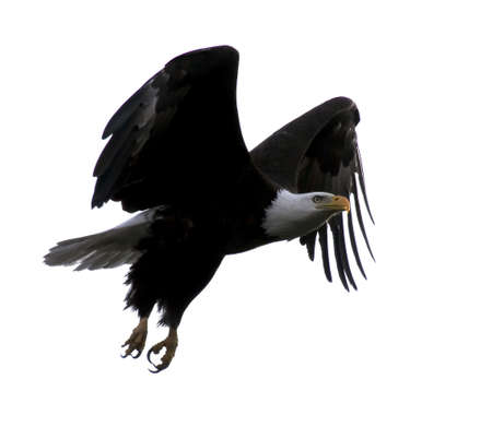 outstretched: Bald Eagle Flying with Wings Outstretched Against A White Sky (background) in Northern Wisconsin Stock Photo