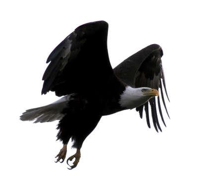 aguilas: El vuelo del �guila calva con las alas outstretched contra un cielo blanco (fondo) en Wisconsin norte�o Foto de archivo