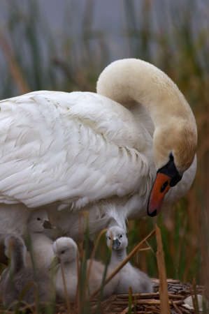 Mother Swan Checking on  Swans (Cygnets) in the Nest. Nest was located in Westerville, Ohio. Stock Photo - 267143