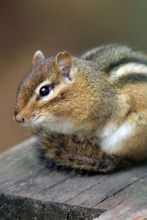 chipmunk: Chipmunk taking a break from gathering seeds in the Fall