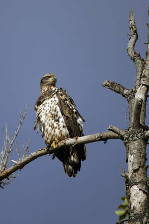 immature: Immature Bald Eagle perched in a tree.