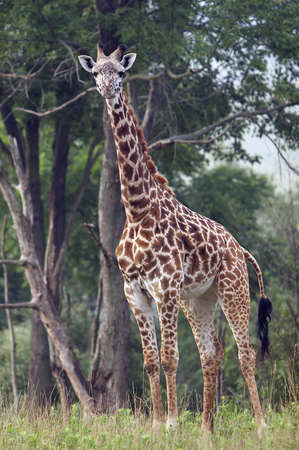 Full length body picture of a giraffe with trees in the background photo