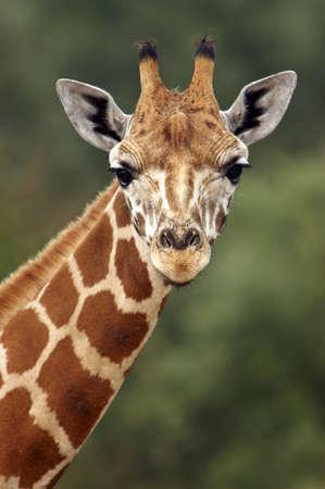 Closeup of a Giraffe head staring at camera. photo