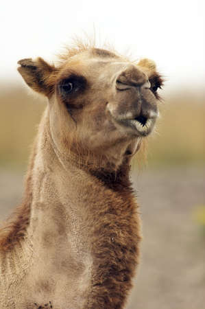 africa kiss: Camel closeup with lips looking like its ready to kiss you.