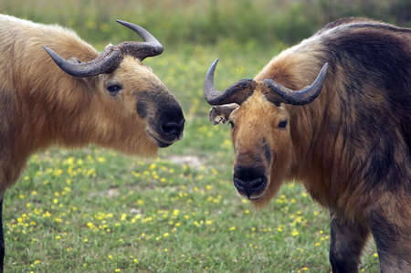 in ox: Closeup of two Takins.  They are a close relative to the Musk Ox. Stock Photo