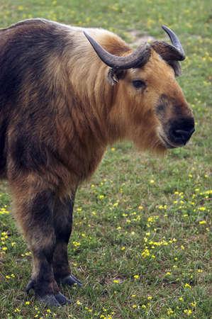 ターキンはジャコウ牛に関連し、ヒマラヤ山脈、中国西部の山岳地帯にあります。