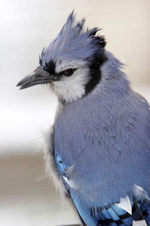 Blue Jay Closeup in the Snow photo