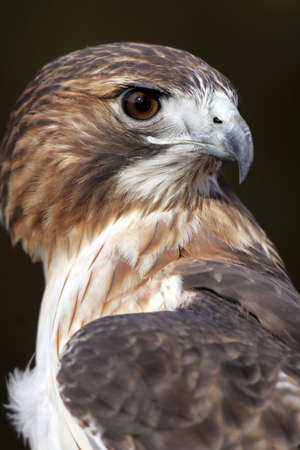 redtail: Closeup Profile of a Red Tailed Hawk Stock Photo