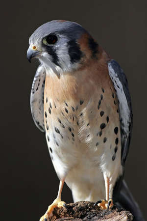 perched: American Kestrel perched on a log. Stock Photo
