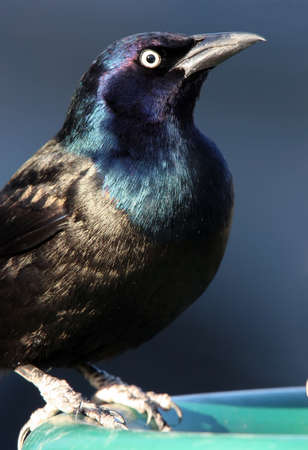 iridescent: Beautiful Common Grackle Closeup showing the birds iridescent black feathers with blue head and a yellow eye.  This bird was at a bird feeder in Ohio. Stock Photo