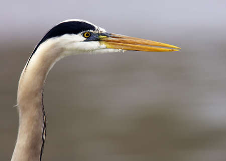 Profile Headshot of a Great Blue Heron located in Ohio. photo