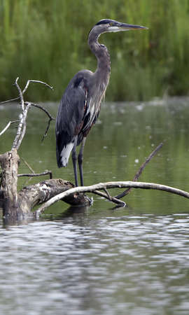 Great Blue Heron Perched on Log photo
