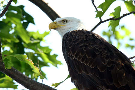 Bald Eagle Perched in a Tree in Northern Wisconsin. photo