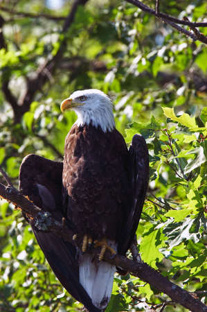 pazur: Bald Eagle ze skrzydłami się w drzewo, Wisconsin Północnej. Zdjęcie Seryjne