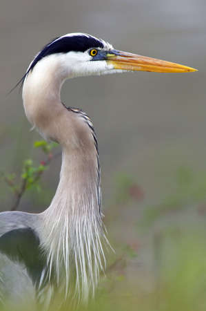 Closeup profile of a Blue Heron in Ohio