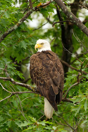 perching: Wild Adult Bald Eagle Perched in Tree (Profile)