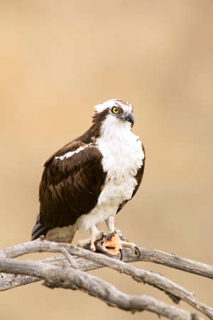 talons: Wild Osprey with Fish in Talons in Yosemite.  Osprey is Staring Right Into the Camera Lense.