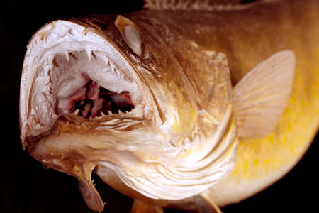 Walleye Pike game fish ready to strike.  The fishs mouth is open showing multiple rows of teeth. photo