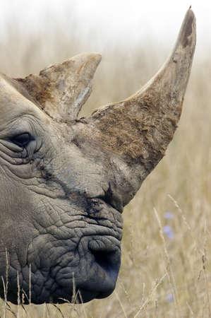 bocinas: Grande adulto Rhino perfil acentuando los cuernos.