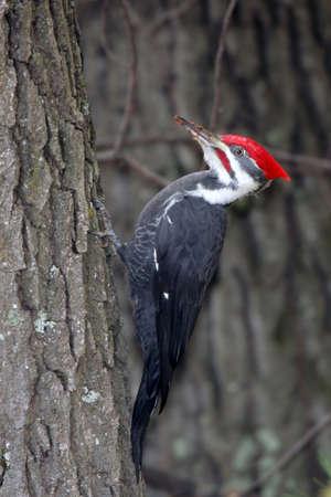 p�jaro carpintero: Gran Adult Male Pileated loco aferrarse al lado de un �rbol con virutas de madera en su pico.