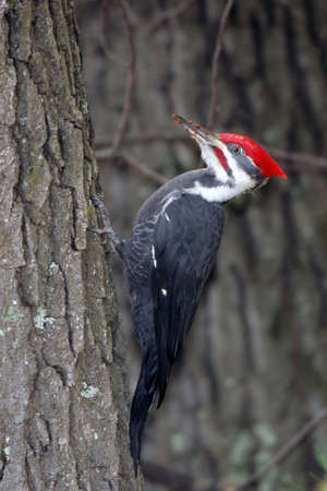 woodpecker: Large Adult Male Pileated Woodpecker clinging to the side of a tree with wood chips on its beak.