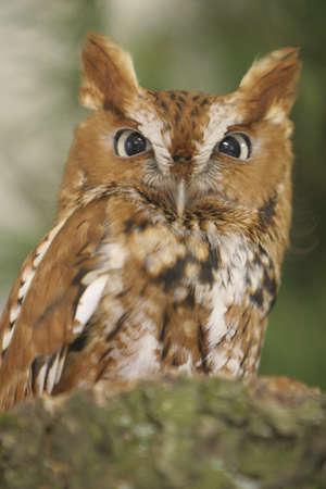 fluffy tuft: Screech Owl Stock Photo