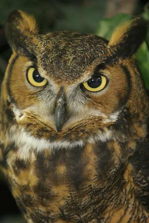 fluffy tuft: Great Horned Owl Provile