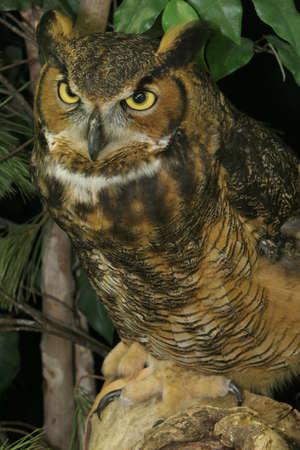 Great Horned Owl Profile on Tree Stump photo
